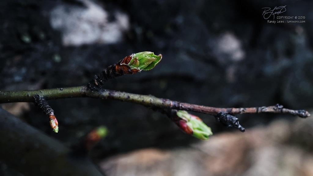 Crabapple Buds