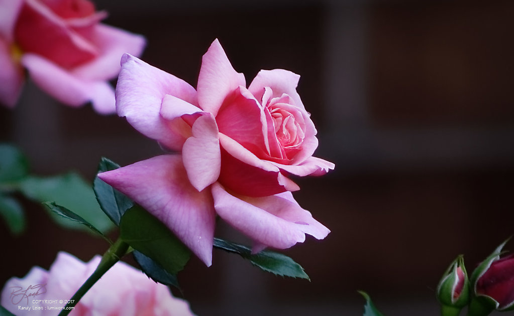 Two-toned Rose