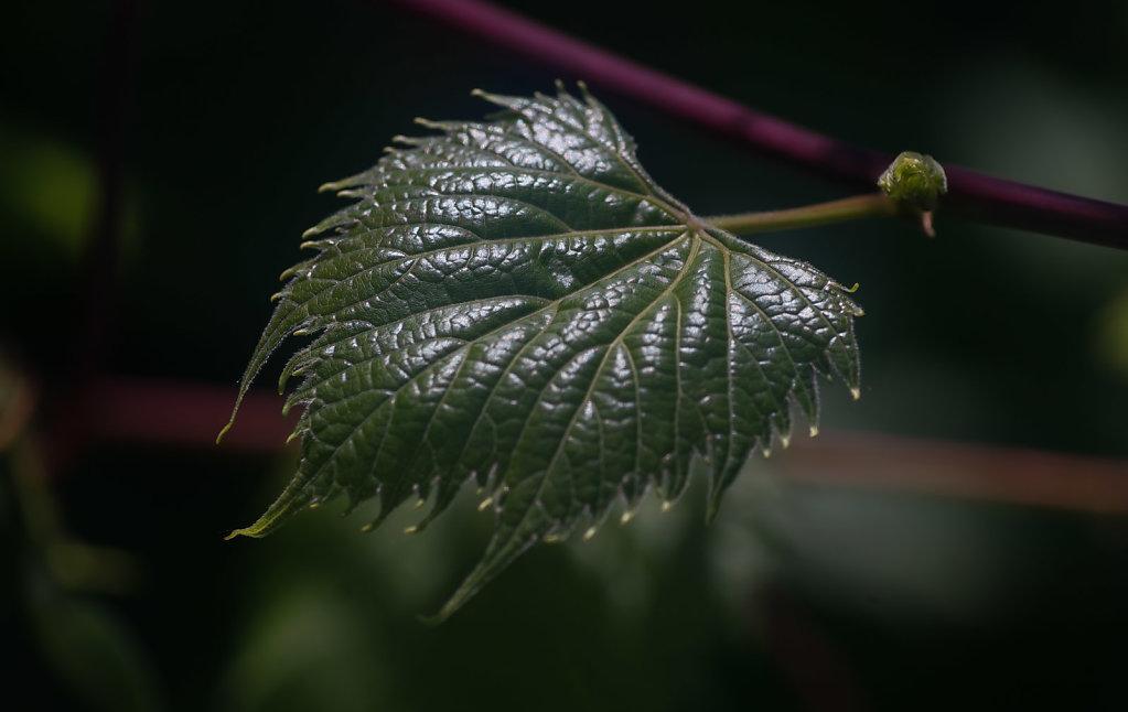 Mature Wild Grape Leaf