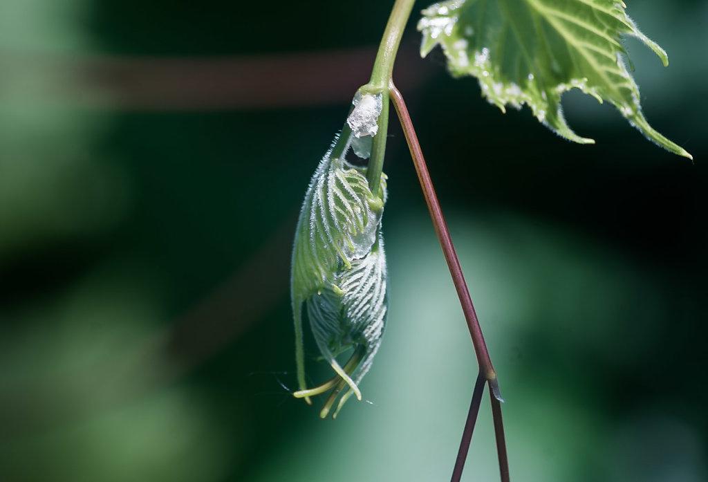Budding Wild Grape Leaves